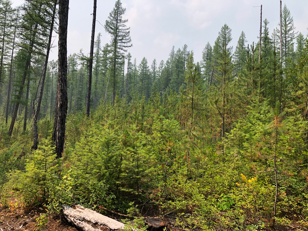 Forest recovery and regrowth near Lake McDonald following the Robert fire in 2003 showing new evergreen trees starting to grow.